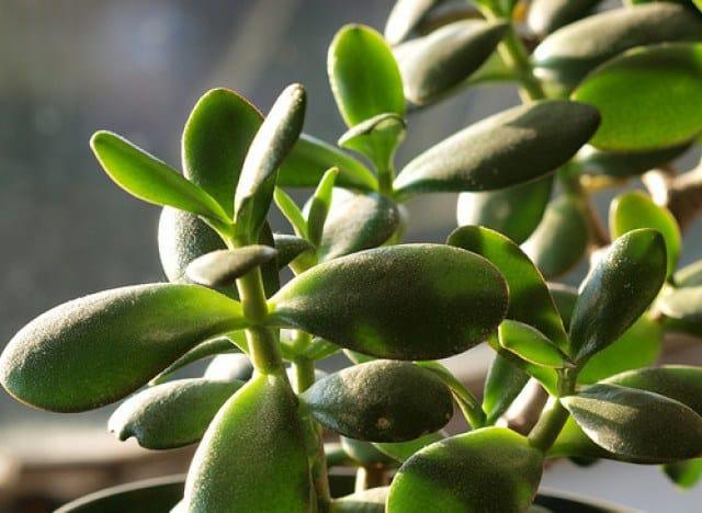 s-jade-plant-large640